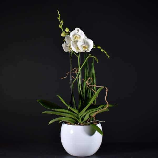 Coupe D'orchidée Petite