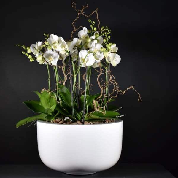 Coupe D'orchidées Prestige